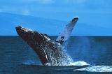 whale1_lrg.jpg